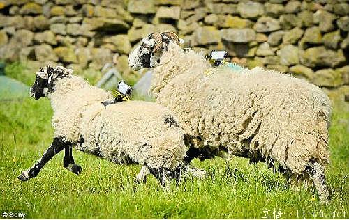 绵羊wifi.png