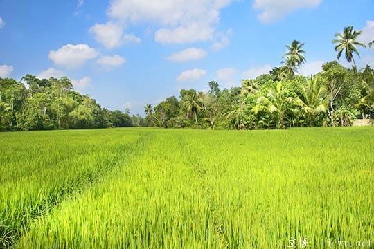 srilanka-Paddy-Fields.jpg